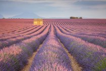 House in a lavender field at sunset — Stock Photo