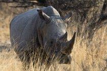 Rhinocéros blanc, ceratotherium simum — Photo de stock