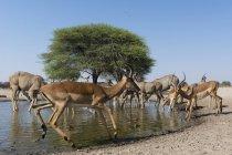 Maggior kudu e Impala — Foto stock