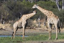 Two southern giraffes — Stock Photo