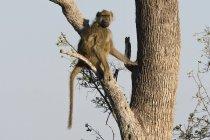 Chacma baboon on tree — Stock Photo