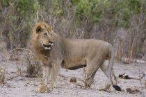 Мужчина Лев, Лев — стоковое фото