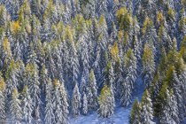 Luftaufnahme der Lärchen im Wald — Stockfoto