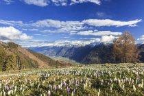 Красочные цветы крокусы цветут — стоковое фото