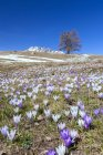 Colorful crocus flowers in bloom — Stock Photo