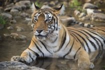 Bengal tiger, Panthera tigris tigris — Stock Photo