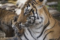 Bengal tigers, Panthera tigris tigris — Stock Photo