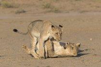 Молодий левів, Лев гра — стокове фото