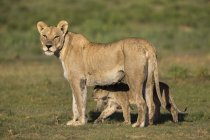 Lionne, Panthera leo avec cub — Photo de stock