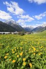 Yellow flowers framed by snowy peaks — Stock Photo