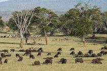 Herd of African buffalo — Stock Photo