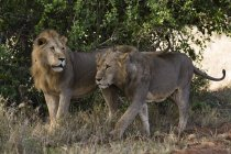 Два льва, Panthera leo — стоковое фото
