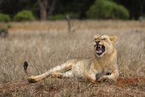 Лев, Лев зевая — стоковое фото