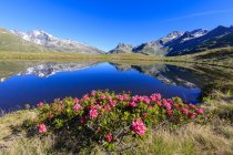 Rhododendrons in bloom at Montespluga, Lombardy — Stock Photo