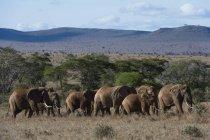 Африканские слоны, Loxodonta africana — стоковое фото