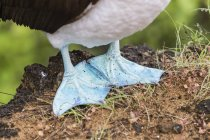 Blue-footed booby feet — Stock Photo