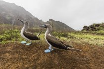 Blue-footed booby pair — Stock Photo