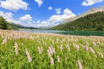 Floración de primavera de Persicaria bistorta - foto de stock