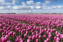 Rosa Tulpen wachsen im Feld — Stockfoto