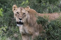 Portrait of lioness in bushes on Lion Rock hill in Lualenyi reserve, Tsavo, Kenya — Stock Photo