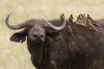 Gelb-billed Oxpeckers auf Kaffernbüffel zurück auf Wiese in Tsavo, Kenia — Stockfoto