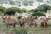 Antilopi del Oryx sul prato con il bestiame del gregge al pascolo in background nel Parco Nazionale Tsavo ovest, Kenya — Foto stock