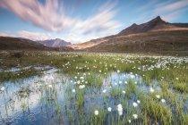 Sunrise on fields of cotton grass — Stock Photo