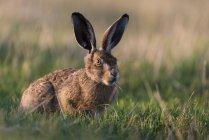 Крупным планом вид заяц в луг — стоковое фото