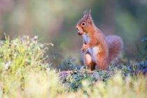 Закри подання Вивірка з гайкою, Cairngorms Національний парк, Шотландія — стокове фото