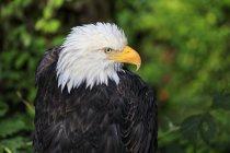Águila calva mirando lejos - foto de stock