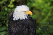 Weißkopf-Seeadler wegschauen — Stockfoto