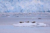 Обыкновенных тюленей на Айсберг — стоковое фото