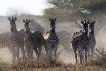 Grupo de zebras Burchells na natureza — Fotografia de Stock