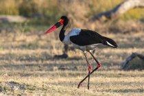 Selle – billed stork debout dans la nature — Photo de stock