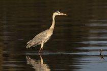Héron cendré, marcher dans la rivière Khwai — Photo de stock