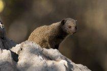 Dwarf mongoose sitting on stone — Stock Photo