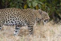 Leopard ходьба в дикій природі — стокове фото