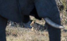 Éléphant d'Afrique avec lion — Photo de stock