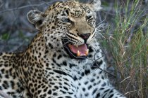 African leopard lying in savanna — Stock Photo