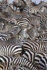 Herde von afrikanischen zebras — Stockfoto