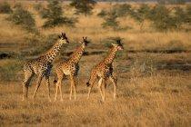 Giraffe in piedi nella savana — Foto stock