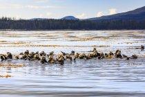 Морські видри плаваючі на воді — стокове фото