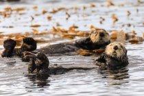 Морські видри, купання в Ситка звук — стокове фото