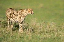 Охота гепарда в дикой природе — стоковое фото