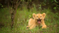 Lion cub roaring on grass — Stock Photo