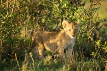 Lion cub стоя на траве — стоковое фото