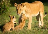 Львица и детенышей, играя в траве — стоковое фото