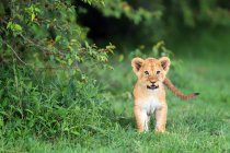 Lion cub standing in grass — Stock Photo