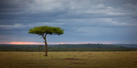 Acacia tree in savanna — Stock Photo