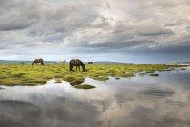 Horses grazing on shores of Hovsgol Lake — Stock Photo